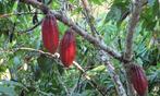 Governo da Bahia define novo modelo de manejo de cultivo de cacau...